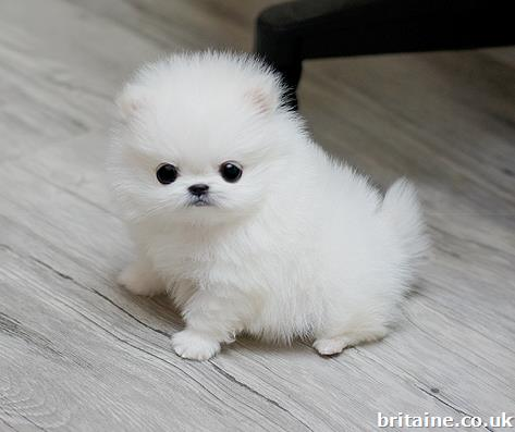 Dog Pomeranian For Sale London